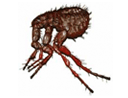 Fleas - North Brisbane Pest Control